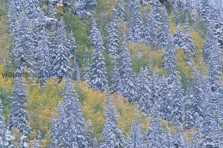 Fall snow on a mixed forest of Engelmann Spruce ,Picea engelmannii, and Quaking Aspen ,Populus tremuloides, Rocky Mountains, Colorado, USA.