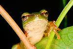 Eastern Dwarf Tree Frog-Litoria fallax, Australia