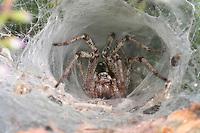 Labyrinthspinne, Labyrinth-Spinne, lauert in ihrem Netz, Trichternetz auf Beute, Spinnennetz, Agelena labyrinthica, grass funnel-weaver, maze spider, Trichterspinnen, Trichternetzspinnen, Agelenidae, funnel web weavers, funnel-weavers