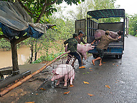 Transporting Pigs by boat north of Can Tho, the hub of the Mekong Delta (Vietnamese: Đồng bằng S&ocirc;ng Cửu Long &quot;Nine Dragon river delta&quot;), also known as the Western Region (Vietnamese: Miền T&acirc;y or the South-western region (Vietnamese: T&acirc;y Nam Bộ) is the region in southwestern Vietnam where the Mekong River approaches and empties into the sea through a network of distributaries. The Mekong delta region encompasses a large portion of southwestern Vietnam of 39,000 square kilometres (15,000&nbsp;sq&nbsp;mi). The size of the area covered by water depends on the season.<br />