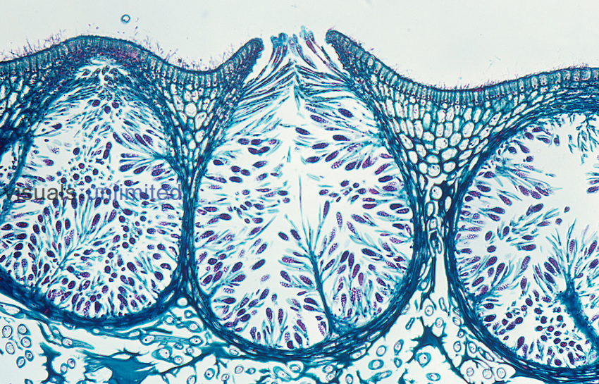 Cross-section of the male or antheridial conceptacle of the Rockweed Brown Algae Fucus. LM X30.