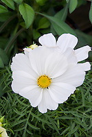 Annual flower Cosmos Sonata White showing closeup of white blooms