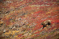 Female grizzly bear among the blueberries and vibrant fall colors of the tundra; Denali National Park.