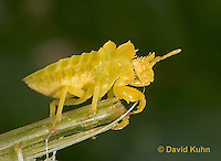 "0829-07pp  Ambush Bug - Phymata spp. ""Nymph in Virginia"" - © David Kuhn/Dwight Kuhn Photography"