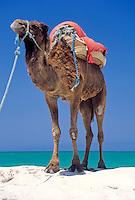 Tunisia, Djerba: dromedary at beach, waiting for tourists