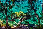 Aleppo pine, Provence, France
