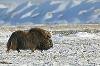 Bull Musk Oxen, coastal plains of Alaska's Arctic,