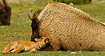 This bison calf leans against a bison cow, a warm and fluffy pillow, in Yellowstone National Park, June 3, 2011. Photo by Gus Curtis.g
