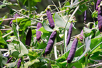 Heirloom variety of peas with purple pods on climbing vine plants, tied up