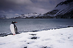Gentoo penguin, South Georgia Island