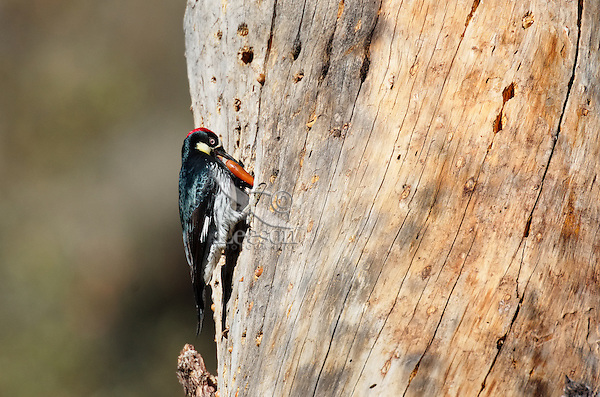 Male Acorn Woodpecker (Melanerpes formicivorus) with acorn it is storing in trunk of dead pine tree.  California.   Trees where acorn woodpeckers store many acorns are called a granary.
