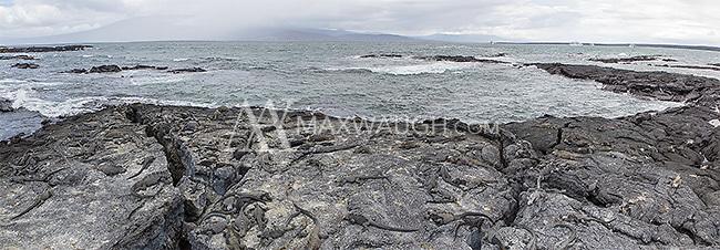 A large colony of marine iguanas on Isla Isabela.