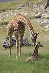 Reticulated giraffes at the Living Desert