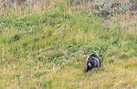 A grizzly bear is on his way to a bison carcass n Yellowstone.