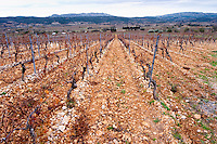 Mont Tauch Cave Cooperative co-operative In Tuchan. Fitou. Languedoc. Vines trained in Cordon royat pruning. Terroir soil. France. Europe. Vineyard.