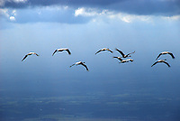Kranich: EUROPA, DEUTSCHLAND, SCHLESWIG- HOLSTEIN, MECKLENBURG VORPOMMERN, HAMBURG (GERMANY), 05.09.2007: Kranich, Vogelzug, Sammeln, Reise, Flug, Fluegel, Gleiten, Kreisen, Steigen, Fluegelschlag, Luftbild, Luftaufnahme, Luftansicht.c o p y r i g h t : A U F W I N D - L U F T B I L D E R . de.G e r t r u d - B a e u m e r - S t i e g 1 0 2, 2 1 0 3 5 H a m b u r g , G e r m a n y P h o n e + 4 9 (0) 1 7 1 - 6 8 6 6 0 6 9 E m a i l H w e i 1 @ a o l . c o m w w w . a u f w i n d - l u f t b i l d e r . d e.K o n t o : P o s t b a n k H a m b u r g .B l z : 2 0 0 1 0 0 2 0  K o n t o : 5 8 3 6 5 7 2 0 9.C o p y r i g h t n u r f u e r j o u r n a l i s t i s c h Z w e c k e, keine P e r s o e n l i c h ke i t s r e c h t e v o r h a n d e n, V e r o e f f e n t l i c h u n g n u r m i t H o n o r a r n a c h M F M, N a m e n s n e n n u n g u n d B e l e g e x e m p l a r !.