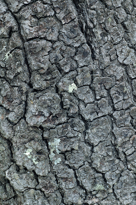 Bark patterns of silverleaf oak (Quercus hypoleucoides), Coronado National Forest, Arizona