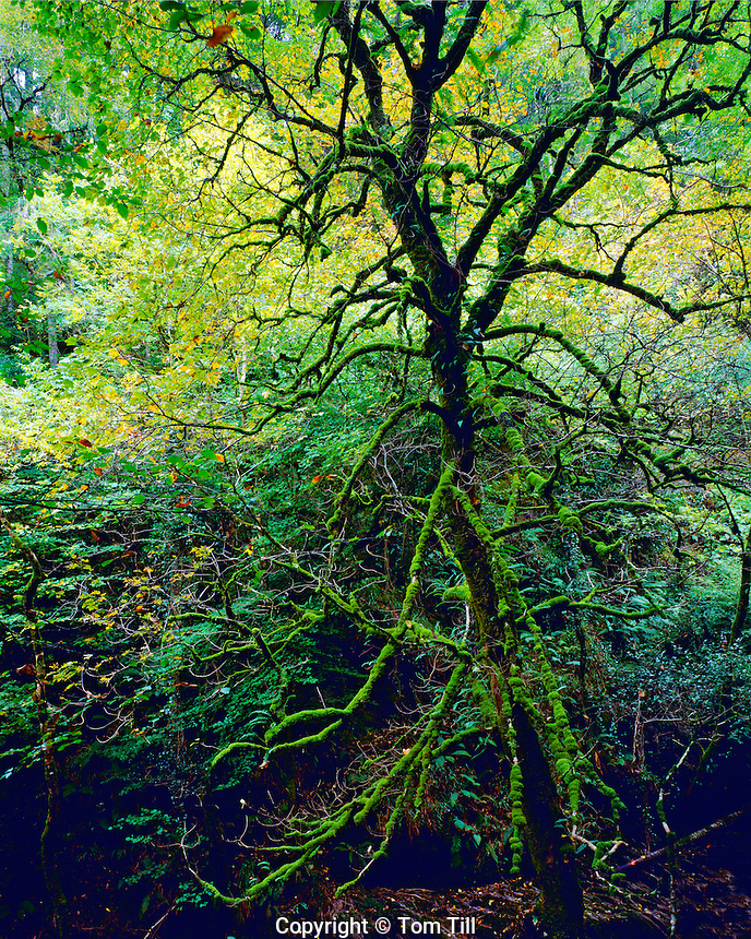 Old growth oak forest, Killarney National PArk, Republic of Ireland, Torc Waterfall area, County Kerry, September