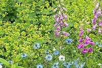 Digitalis purpurea, Alchermilla mollis 'Robusta', Nigella 'Miss Jekyll'
