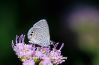 03224-00110 Ceraunus Blue butterfly (Hemiargus ceraunus) on Greg's Mistflower (Eupatorium gregii), Hidalgo Co.  TX