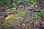 The Corcovado Nature Preserve on the Osa Peninsula of Costa Rica, Central America. Leafcutter ants on parade.