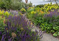 Indianola, WA: Purple salvia borders pathway of summer perennial garden