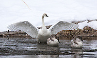 An adult trumpeter swan stretches its wings near a couple of juveniles.