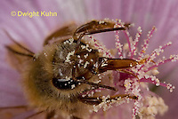 1B07-508z  Honeybee face,  antennae, compound eyes, tongue, Apis mellifera