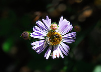 Fleabane with a bud and a bee.