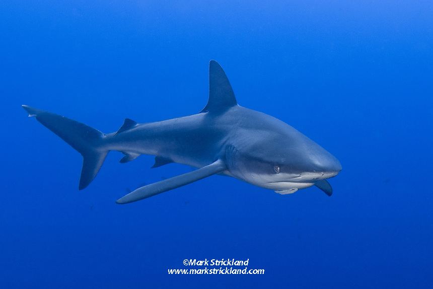 Galapagos shark, Carcharhinus galapagensis, San Benidicto, Revillagigedos, Mexico, Pacific Ocean