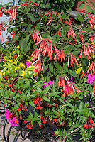 Fuchsia Thalia in pot container garden, flowering shrub with orange red blooms