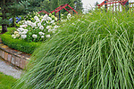 Vashon Island, WA: Large Miscanthus next to curved flower bed with hydrangeas and pergolas in Froggsong garden in summer