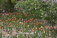 63821-21517 Orange and cream Tulips (Tulipa sp) and Lilacs (Syringa sp) in spring at Lilacia Park, Lombard, IL