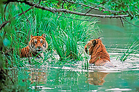 Indochinese tiger, Corbett's tiger, Panthera tigris corbetti, pair, playing in water to cool off, Thailand