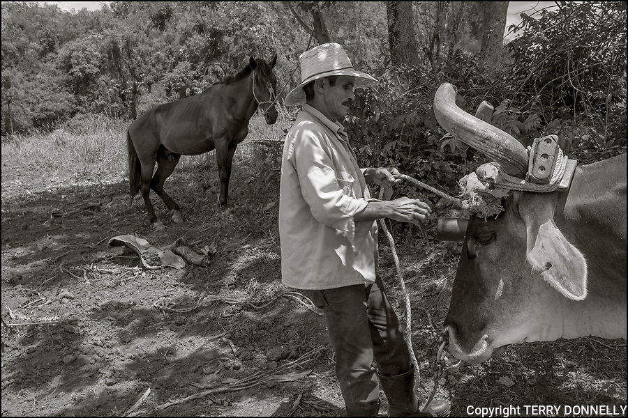Vinales, Cuba:<br /> Tobacco farmer hitching oxen on a farm near Vinales