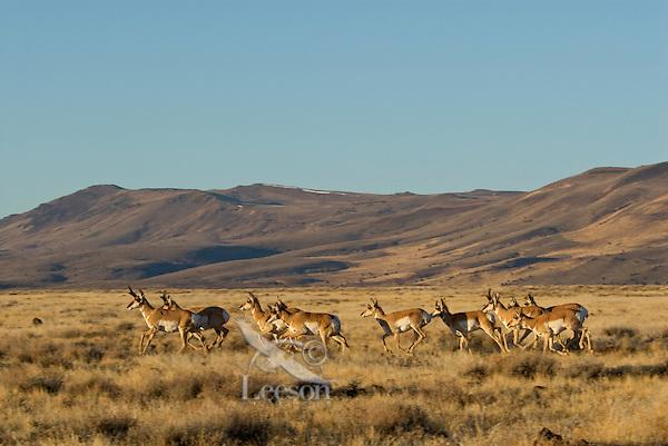 Pronghorn Antelope (Antilocapra americana) herd running.  Western U.S., fall.