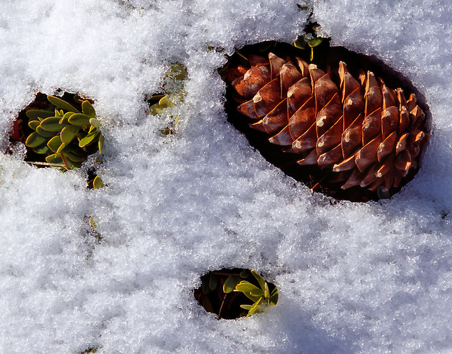 Pine cone, melted snow, Rocky Mountain National Park, Colorado