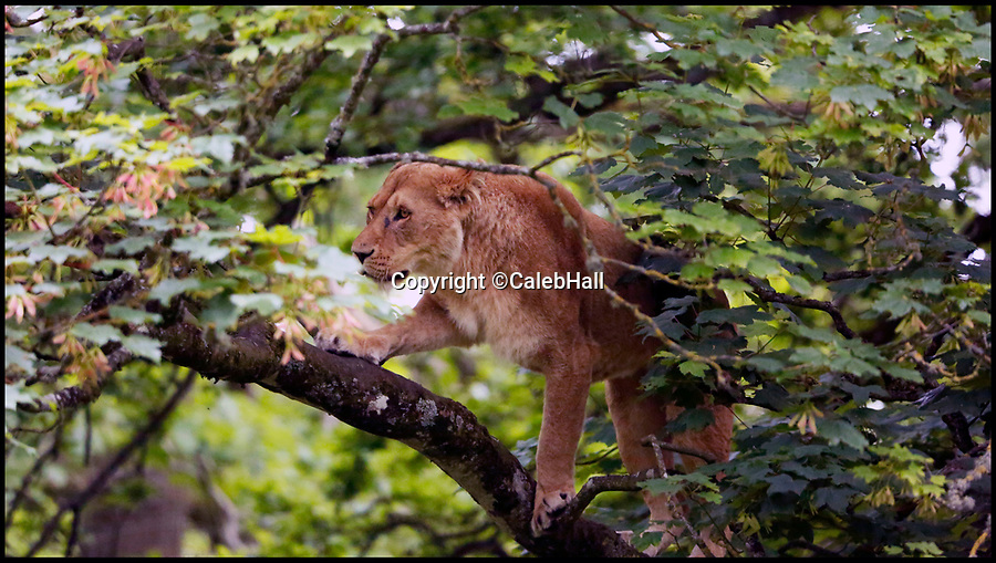 BNPS.co.uk (01202 558833)<br />Pic:  CalebHall/BNPS<br /> <br /> Where's Wally moment for Longleat lioness with a head for height's.<br /> <br /> The big cat, called Kiama, seemed more like a mountain lion after climbing 50ft up a the tree in her wooded enclosure at Longleat Safari Park in Wiltshire.<br /> <br /> Her keepers say the eight-year-old is a keen climber but hey have never known her to venture so far off the ground before.<br /> <br /> Remarkable photos show Kiama sat on a branch in the canopy of the 65ft tall sycamore tree.<br /> <br /> Another startling image depicts the nerveless big cat seemingly defying gravity by walking down the vertical trunk of the huge tree.