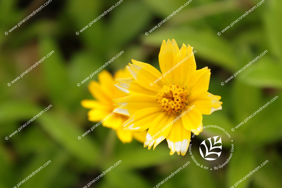 Gorgeous picture of Butter Daisy with softly blurred background of green leaves