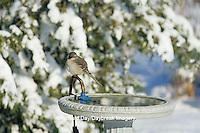 01395-02306 Northern Mockingbird (Mimus polyglottos) at heated bird bath in winter Marion Co.  IL