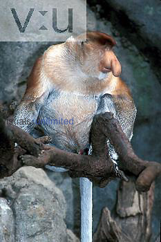 Proboscis Monkey (Endangered) (Nasalis larvatus) Mangrove Forests of Borneo