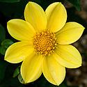 Dahlia 'Golden Margaret', mid August.