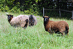 Sheep, that are among the inhabitants of Heather Ridge Farm, in Preston Hollow, NY on Saturday, Sept. 7, 2013. Photo by Jim Peppler. Copyright Jim Peppler 2013 all rights reserved.