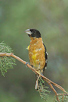 Black-headed Grosbeak, Pheucticus melanocephalus, male, Paradise, Chiricahua Mountains, Arizona, USA