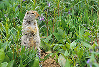 Arctic ground squirrel and bluebells, Denali National Park, Alaska