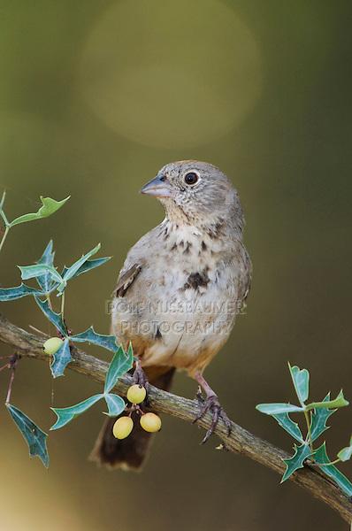 Canyon Towhee, Pipilo fuscus, adult on Agarita (Berberis trifoliolata), Uvalde County, Hill Country, Texas, USA