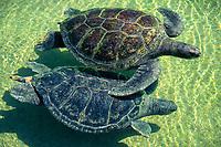 green sea turtles, Chelonia mydas, San Diego, California, USA, Pacific Ocean