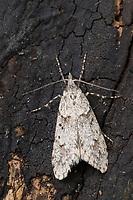 Buchenmotte, Buchen-Motte, Sängerin, Männchen, Diurnea fagella, Tinea fagella, March Dagger Moth, male, la Diurne du hêtre