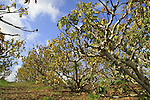 Israel, Shephelah, Fig grove near Haruvit forest