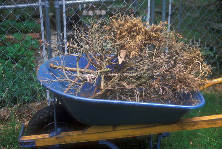 Yard work cleaning up garden of dead plants shrub, in blue wheelbarrow